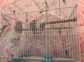 Two budgies free to good home
