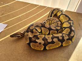 Pastel Royal python