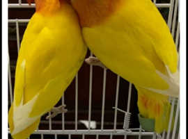Lovebirds pair