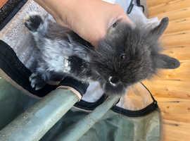 Baby mini lop doe
