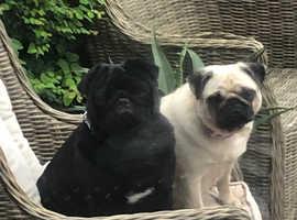Pug puppies due