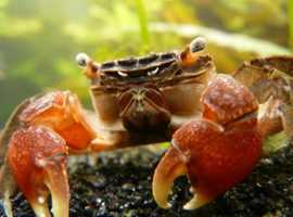 Freshwater red clawed crab