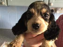 4 Showtype cockerspaniels