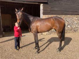 Bay mare 16 hh 7 yr old