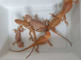 Baby coral red bearded dragons