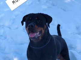 Last Chunky male Rottweiler