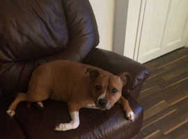 Staffordshire bull terrier, forever home wanted