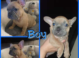 **Stunning French Bulldog Pups**