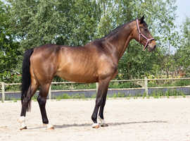 Exceptional warmblood