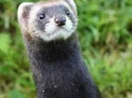 looking for 2 polecats the same gender or ferrets, preferably 12 weeks to 1 year old