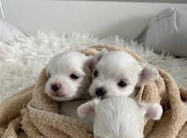 Kc Reg Tiny Half Korean Maltese Puppies