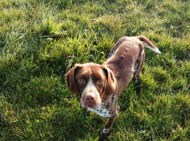German pointer/springer cross
