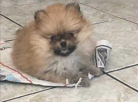 Tiny luxury little Pomeranian female