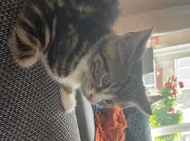 16 Week Old Kitten For Sale