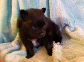 Black and white Pomeranian puppy