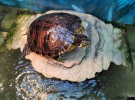 Finding new home for 2 terrapins