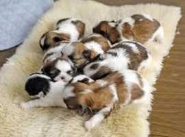Shih Tzo puppies