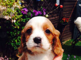 My gorgeous Cavalier puppies for sale