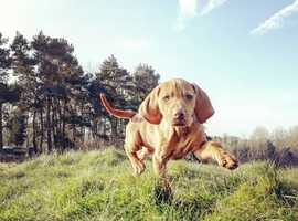 Gamekeeper bred Hungarian Vizsla puppies with exceptional lines