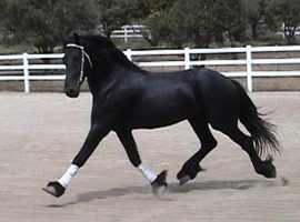 AMAZING 7 Years Old , 17 H, 2014, Black Friesian Gelding For Sale.