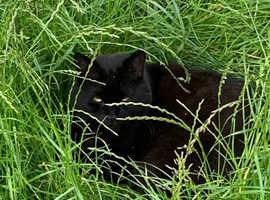 Wanted Bombay black male kitten Kent area