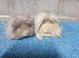 Hagrid & Marley. Guinea pig bonded pair.
