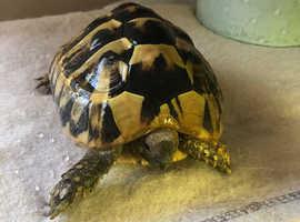 Herman tortoise for sale