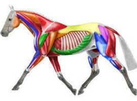 Equine Merishia Massage