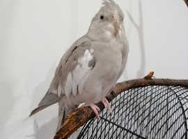 Cockatiel Elvis with cage RESERVED