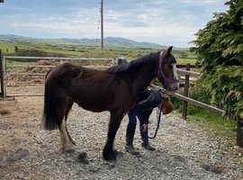 Really sweet 12.2hh pony
