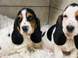 Gorgeous Bassett Hounds
