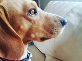 Friendly Beagle for sale