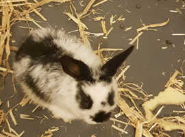 Adorable lionhead/lop bunnies for sale