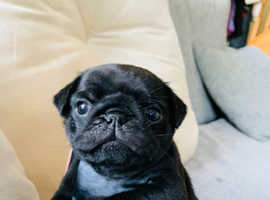 KC reg Pure Black Pugs