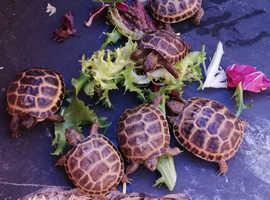 Home Bred Horsfield Tortoise