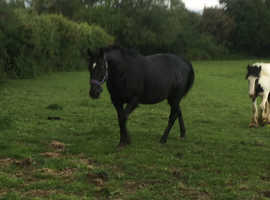 15'2 hh broodmare/project for sale
