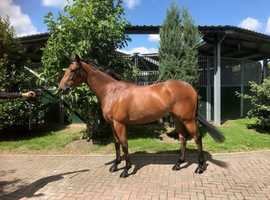 Lovely 3 yr old thoroughbred filly for sale, unraced.