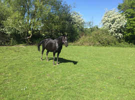 15'2 hh , 12yr old Irish mare project for sale