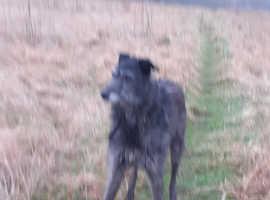 Deerhound for sale
