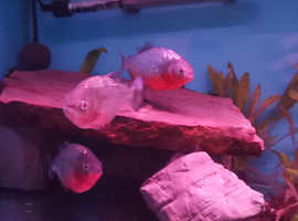 8 red belly and 2 other piranhas