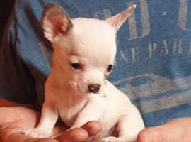 Stunning Chihuahua x shih tzu puppies