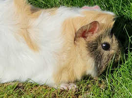 Baby Female Guinea Pig Available To Reserve