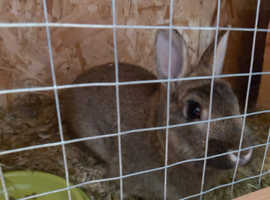 Male 1 year old rabbit. Not neutered