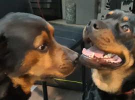 3/4 Rottweiler 1/4 Labrador puppies arriving soon