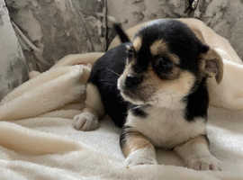Pug x Chihuahua