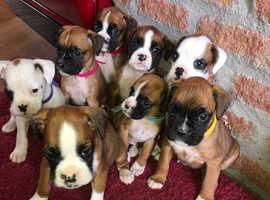 8 Pedigree Boxer pups for sale