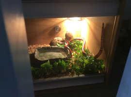 Milk snake and vivarium