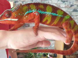 Stunning panther chameleon male