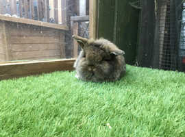 Agout single mane mini lion lop baby rabbit £40