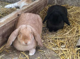 Giant French Lop Doe Rabbits for sale